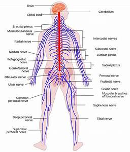 File Human Nervous System Diagram Svg