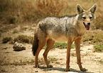 Jackal | Animal Wildlife
