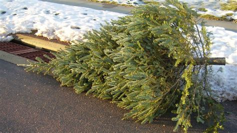 my christmas tree died procrastinators rejoice now you can cook with that tree grist