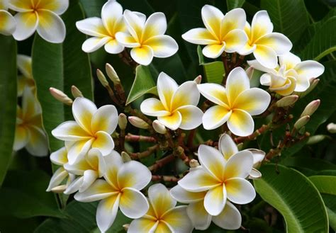 manfaat bunga kamboja kesehatan