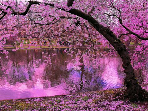 spring blooming trees pink blossoms  cherry river