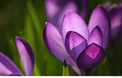 Spring Wallpapers March April Crocus Desktop Flowers