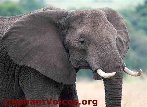elephant ear size how to use ear lobe size and shape to id african elephants