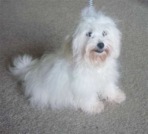 do bichon maltese shed maltese x bichon frise sittingbourne kent pets4homes