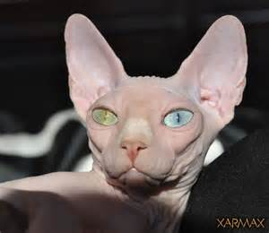 sphynx cat for nc the 25 best ideas about hairless cats for on