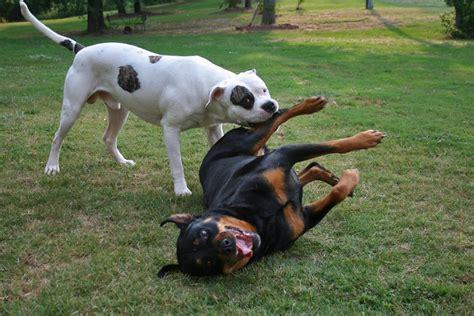nom american bulldog rottweiler fight flickr