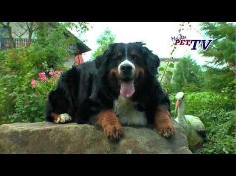 berner sennenhund ein wundervoller familienhund