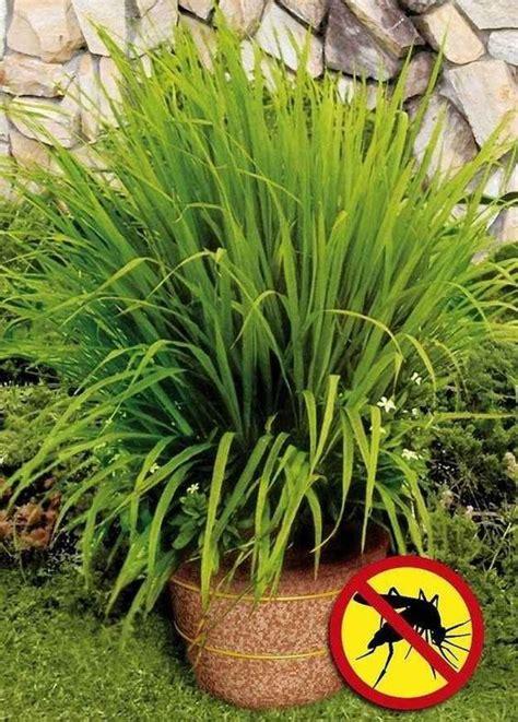 Zitronengras Gegen Mücken by Plant Lemongrass As A Way To Keep Mosquitoes Away