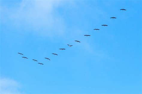 do birds fly at why do birds fly in a v wonderopolis