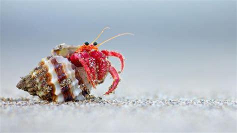 what do hermit crabs eat what do hermit crabs eat reference com