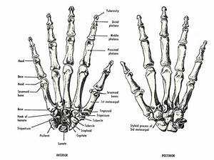 Thumb Joints Anatomy