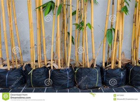 bambou jaune dans des pots photo stock image 33772020