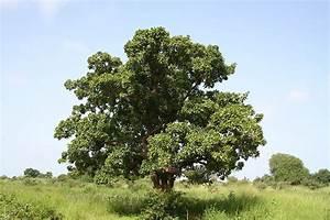 L Arbre Du Kiwi : le karit l 39 arbre aux 1000 vertus si le s n gal m 39 tait cont ~ Melissatoandfro.com Idées de Décoration