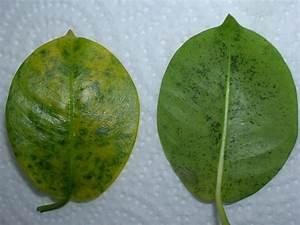 Dipladenia Gelbe Blätter : mandevilla ist krank treffpunkt stammtisch green24 hilfe pflege bilder ~ Udekor.club Haus und Dekorationen
