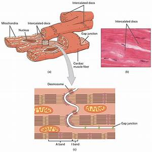 Cardiac Muscle and Electrical Activity · Anatomy and ...