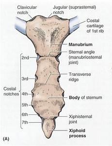 Anterior View Of The Sternum Anatomy Image