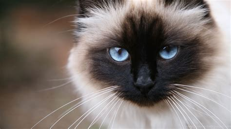 cat breeders most friendly cat breeds purrfect