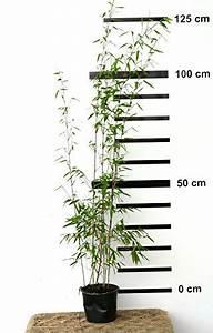 Sichtschutz Schnell Wachsend : roter bambus fargesia jiuzhaigou winterhart und schnell wachsend 100 120 cm hoch ~ Markanthonyermac.com Haus und Dekorationen