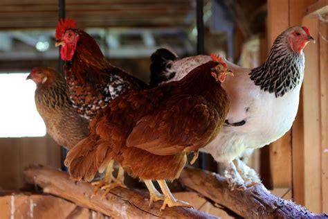 good night  bedlam farm chickens   roost