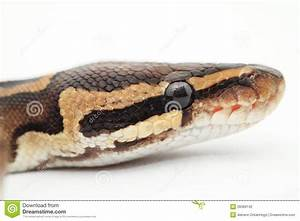 Ball Python Close Up Stock Photography - Image: 28389142
