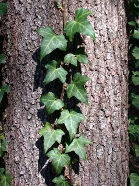 Ivy Plants For Sale Online  Choose Your Climbing Ivy