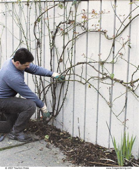 when to trim climbing roses lucy on gardening how to prune climbing roses by these simple diagrams