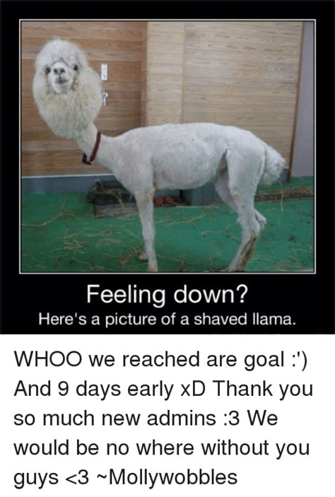 Feeling Down Meme - feeling down here s a picture of a shaved llama whoo we reached are goal and 9 days early xd