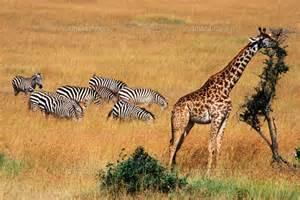 草を食べる動物 サバンナ に対する画像結果