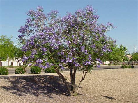 xeriscape trees jacaranda tree jacaranda mimosaefolia non xeriscape common landscape plants shrubs