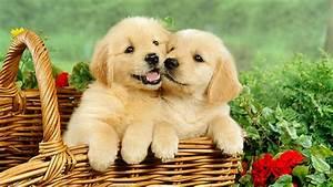 golden retriever puppies petsidi