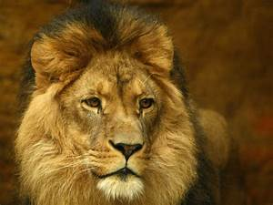 Cecil the lion: Death of 'iconic' big cat prompts calls to ...