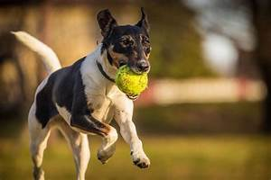 Fox Terrier | Fox Terrier Pet Insurance & Dog Breed Info