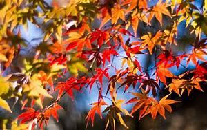 Ahorn Rote Blätter : zweige rote bl tter ahorn herbst sonne 1920x1200 hd hintergrundbilder hd bild ~ Eleganceandgraceweddings.com Haus und Dekorationen