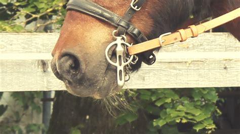 welches gebiss fuers shetty janet metz pferde verstehen