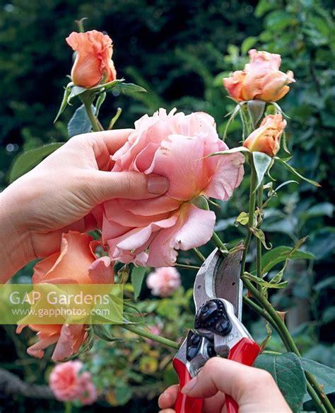 deadheading roses gap gardens deadheading roses image no 0143184 photo by bbc magazines ltd