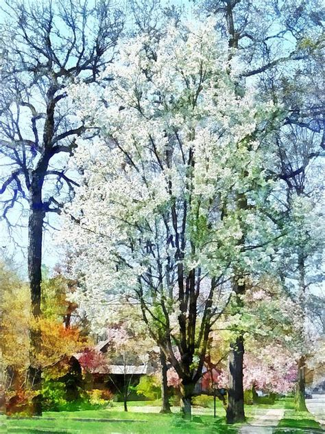 tree white blooms early white flowering trees flowering trees and wedding aisles on pinterest