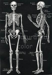 Human Skeleton Anatomy Vintage 1940s High Res Digital