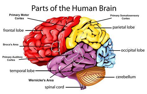 kijiji kitchener furniture psychology brain diagram 28 images best 25 the human