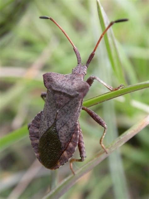 Bugs In by The Lyons Record Of Shield Bug For East