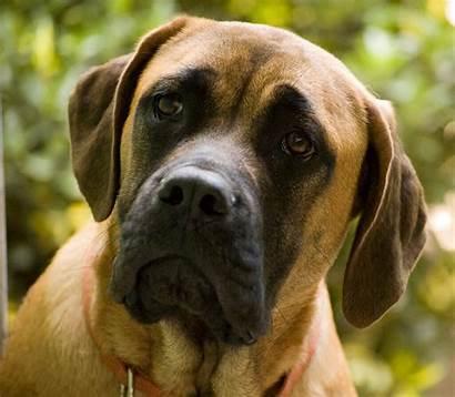 Mastiff English Muscular Dog Protective Wikimedia Source