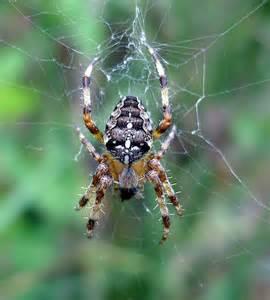 Non Venomous Spiders