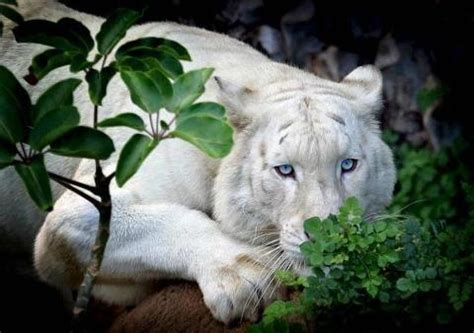 Beautiful White Lion With Blue Eyes Cool Animals