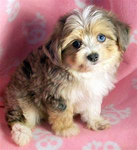 Australian Shepherd Poodle Dogs Puppies For Sale Miniature ...