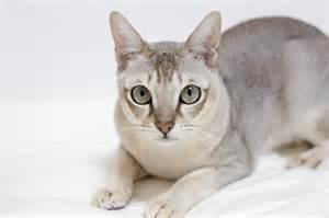 singapura cat singapura cat breed information pictures characteristics