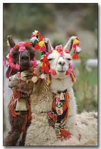 Peruvian Llamas and Alpacas