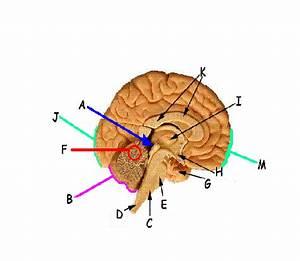 Bio 130 Brain Identification - ProProfs Quiz