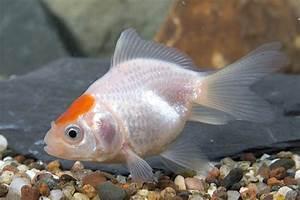 Red Cap Fantail Goldfish | AquA AnimaniA