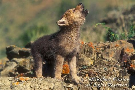 cute baby wolf howling cute animals pinterest wolves