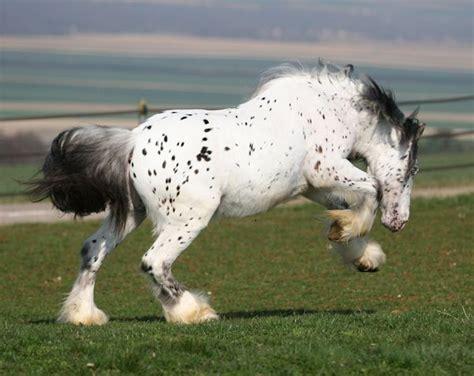 draft horse appaloosa gypsy vanner leopard ghost horses william bay screensavers screensaver stallion