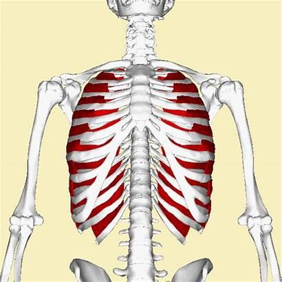 Intercostal Muscles External Muscle Intercostals Rib Anatomy